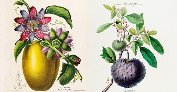 Del cacao al clitoria: deliciosas ilustraciones botánicas francesas del siglo XIX de la flora más vibrante de las Américas